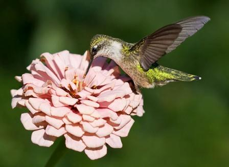 Ruby-Throated Hummingbird at Zinnia © Ellen Michaels