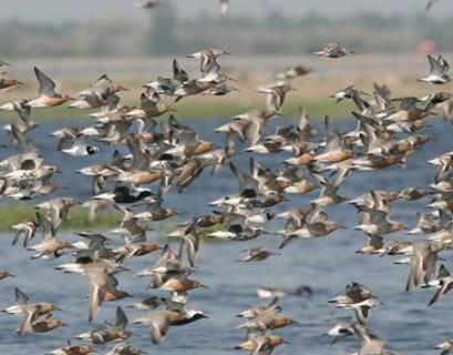 Shorebirds in Flight © Don Riepe