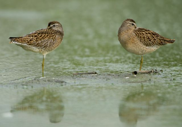 Short-Billed Dowitchers, © Steve Nanz