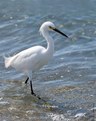 Snowy Egret © David Speiser