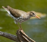 Spotted Sandpiper © Laura Meyers