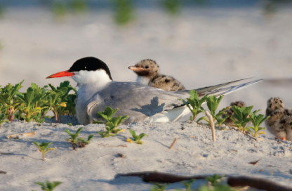 Common Tern Adult and Chick © Steve Nanz