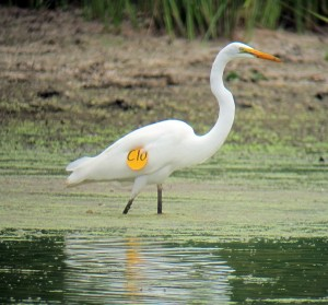 This tagged great egret was photographed in Hanover Township, NJ. Photo © Jonathan Klizas