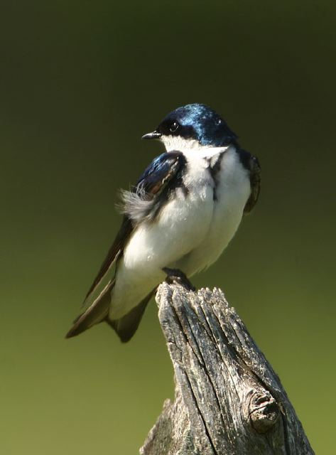 Tree Swallow © Steve Nanz