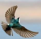 Tree swallow © Laura Meyers