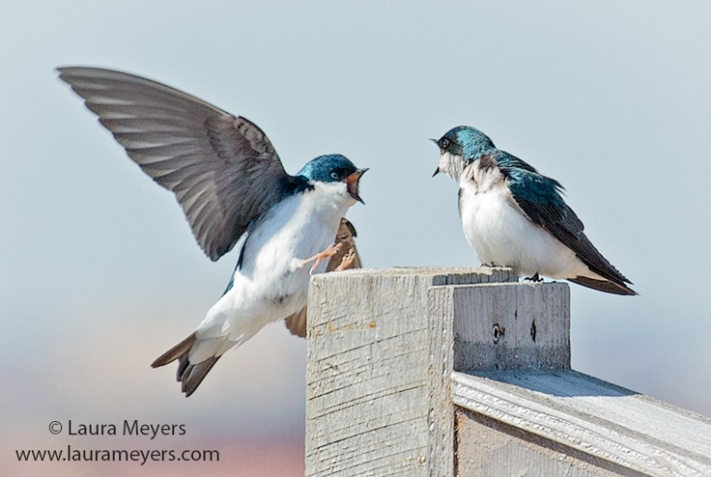 Tree Swallows © Laura Meyers