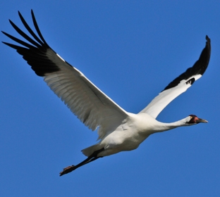Whooping Crane © Connie Barr