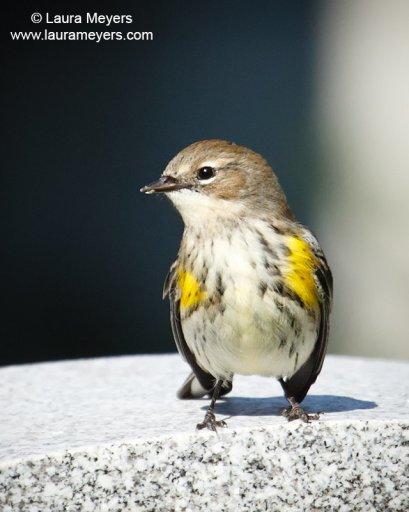 Yellow-Rumped Warbler © Laura Meyers