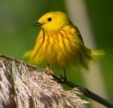 Yellow Warbler © François Portmann