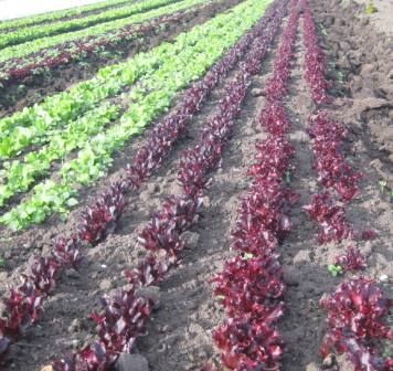 Salad Mix in Field