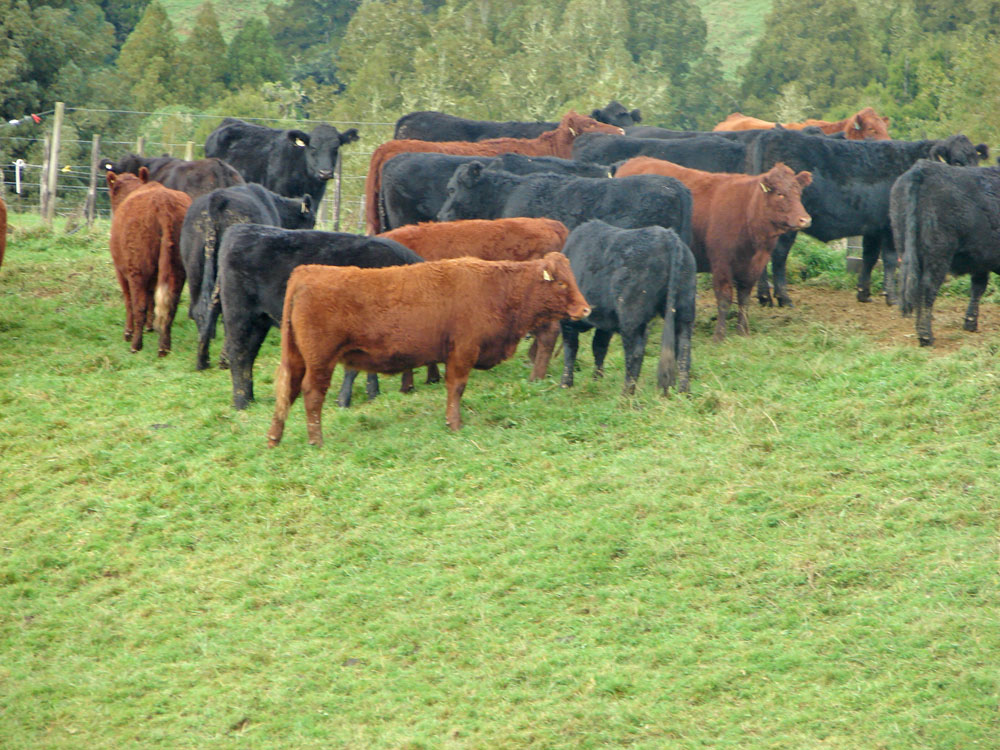 More Jury cattle