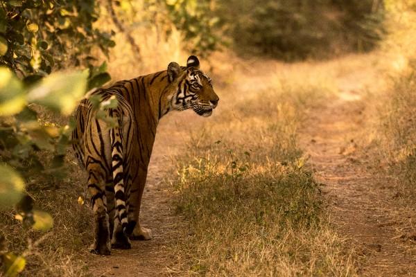 Bengal Tiger. © Srikaanth Sekar.