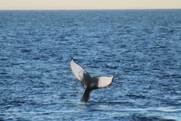 Humpback Whale. ©  FPN