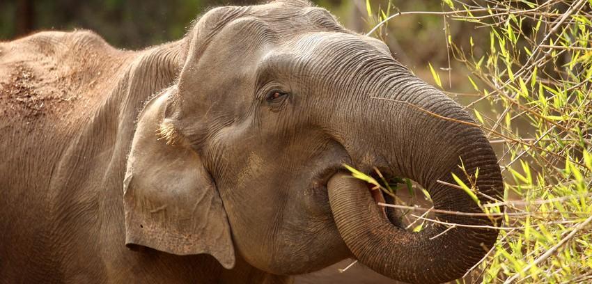 Indian Elephant. © David Bebber