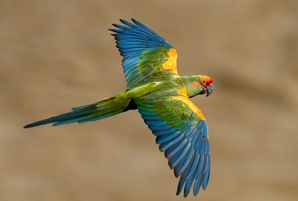 Red-fronted Macaw. © Steffen Reichle/Asociacion Armonia