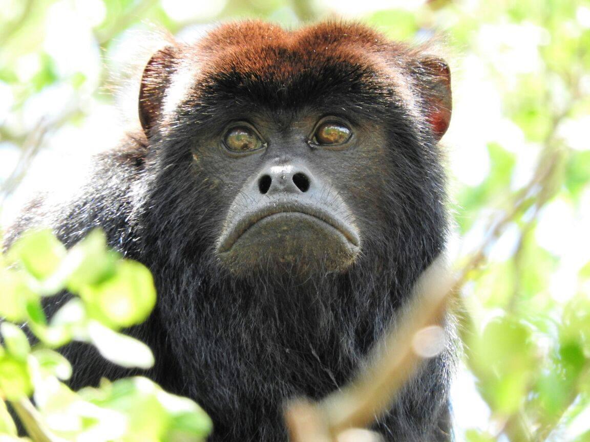 Black Howler Monkey. © Guyra Paraguay