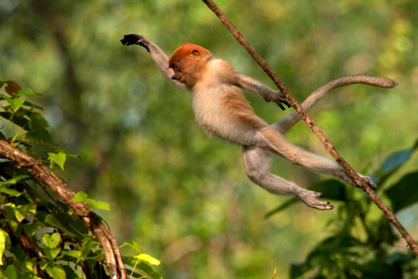 Proboscis Monkey. © Astrid Munoz.