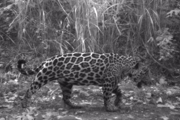 Jaguar in Cerro Blanco. © Pro-Bosque