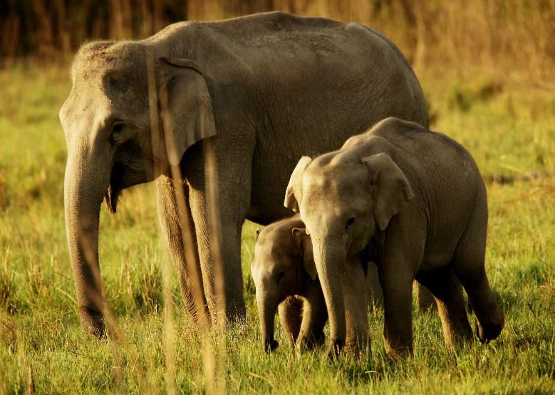 Indian Elephants. © David Bebber.