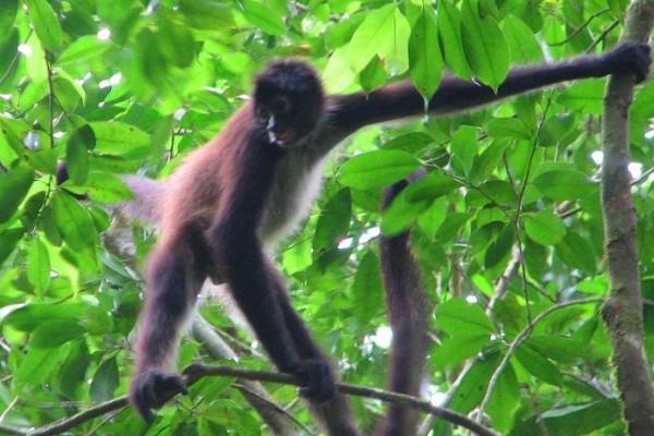 Geoffroy's Spider Monkey. © Herbert Haylock, PfB.