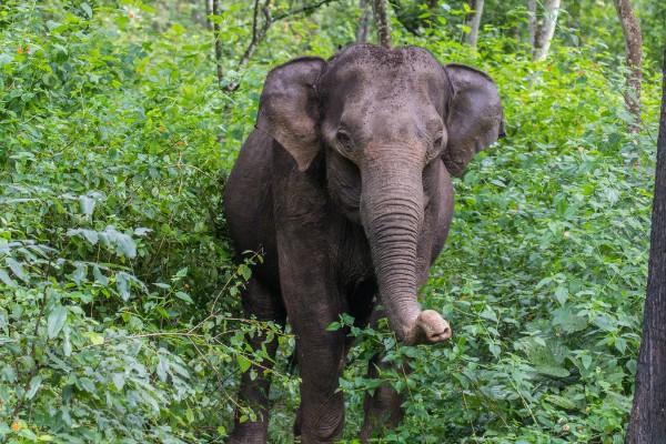 Indian Elephant. © Shahin Olakara