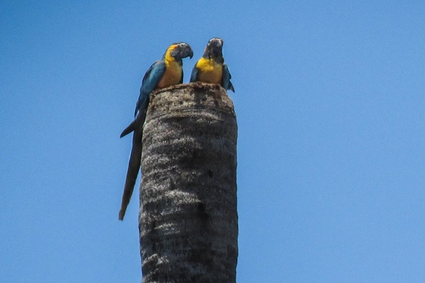 Blue-throated Macaw nest © Asociación Armonía