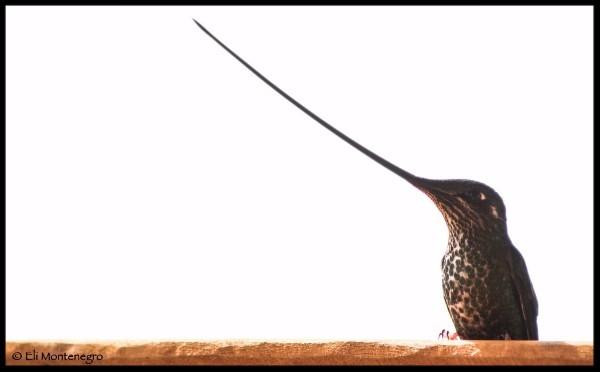 Sword-billed Hummingbird.© Eli Montenegro.