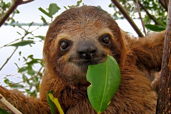Brown-throated, Three-toed Sloth. © Shutterstock
