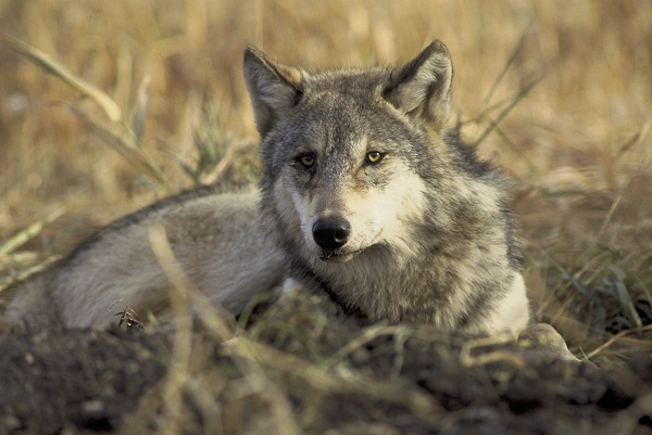 Grey wolf. © John and Karen Hollingsworth/USFWS