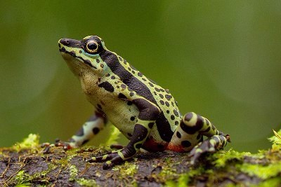 Limon Harlequin Frog. © Tropical Herping.