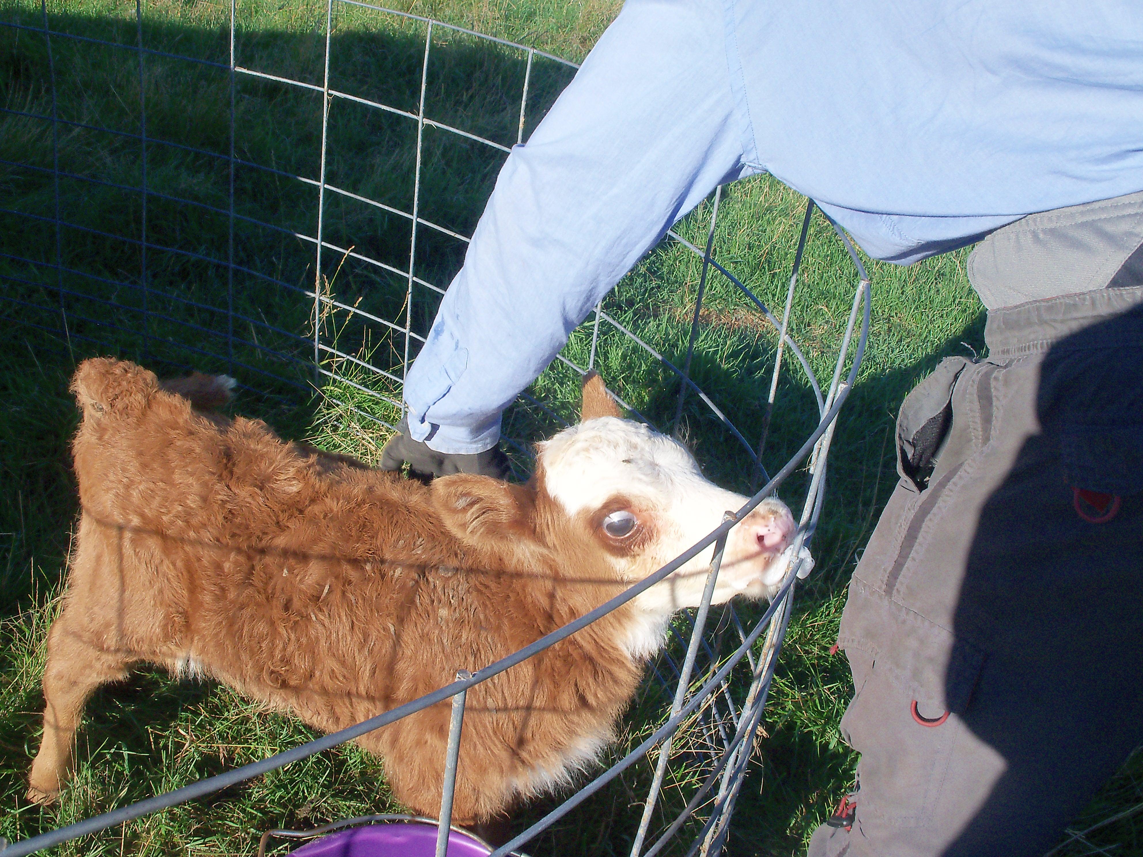 Cole petting Micro, the teeniest beef calf