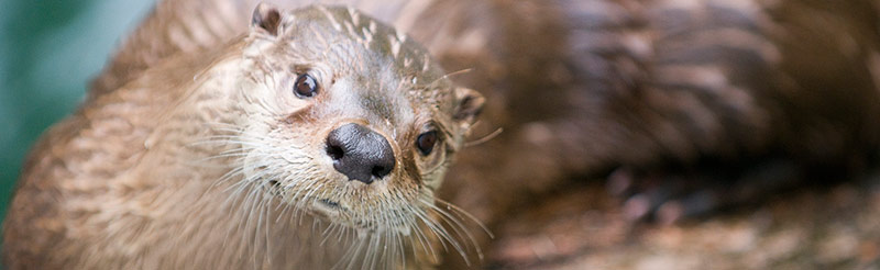ACTION ALERT: BE AN OTTER SPOTTER