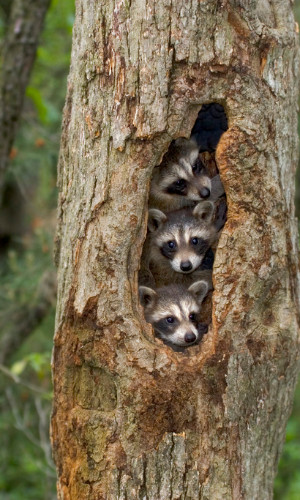 three baby racoons in a hollow tree