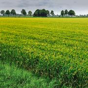 Gelbrost - Bild einer stark anfälligen Sorte Frühjahr 2014