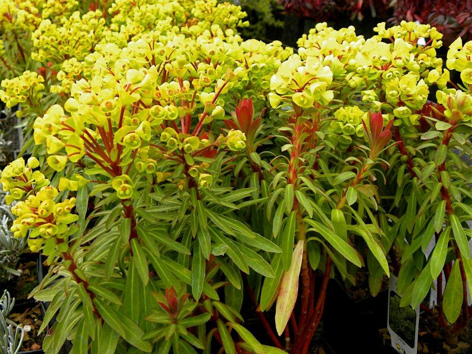 Euphorbia 'Helen Robinson'