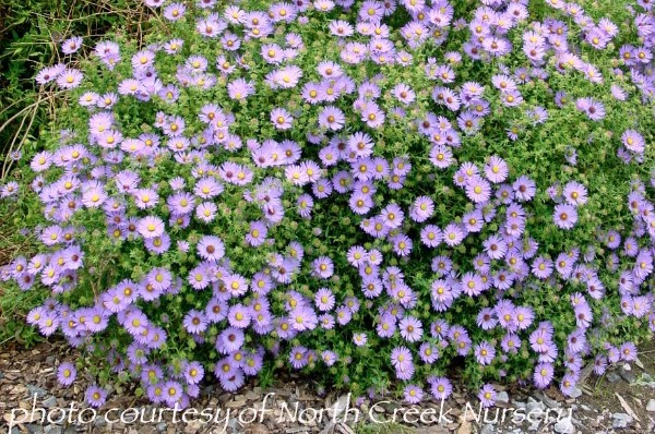 Aster 'October Skies'