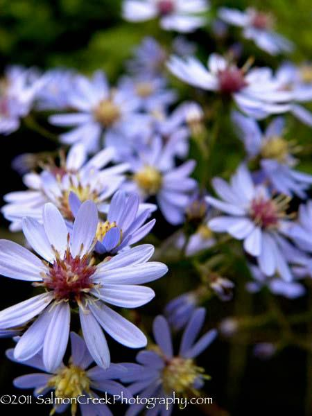 Aster 'The Chieftain'