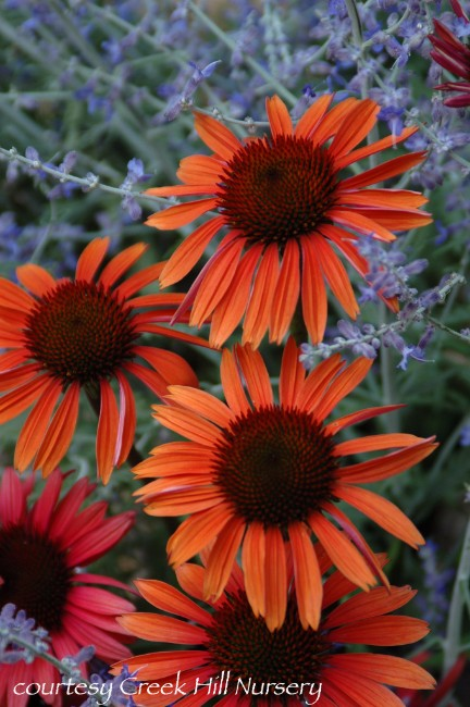 Echinacea Big Sky 'Sundown'