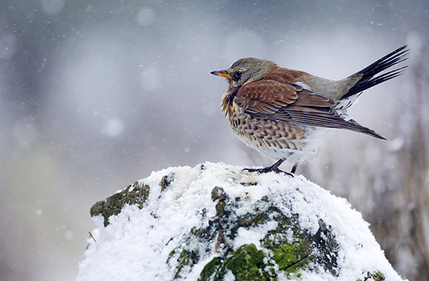 image of song thrush in snow