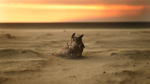 Owl on beach in Malibu