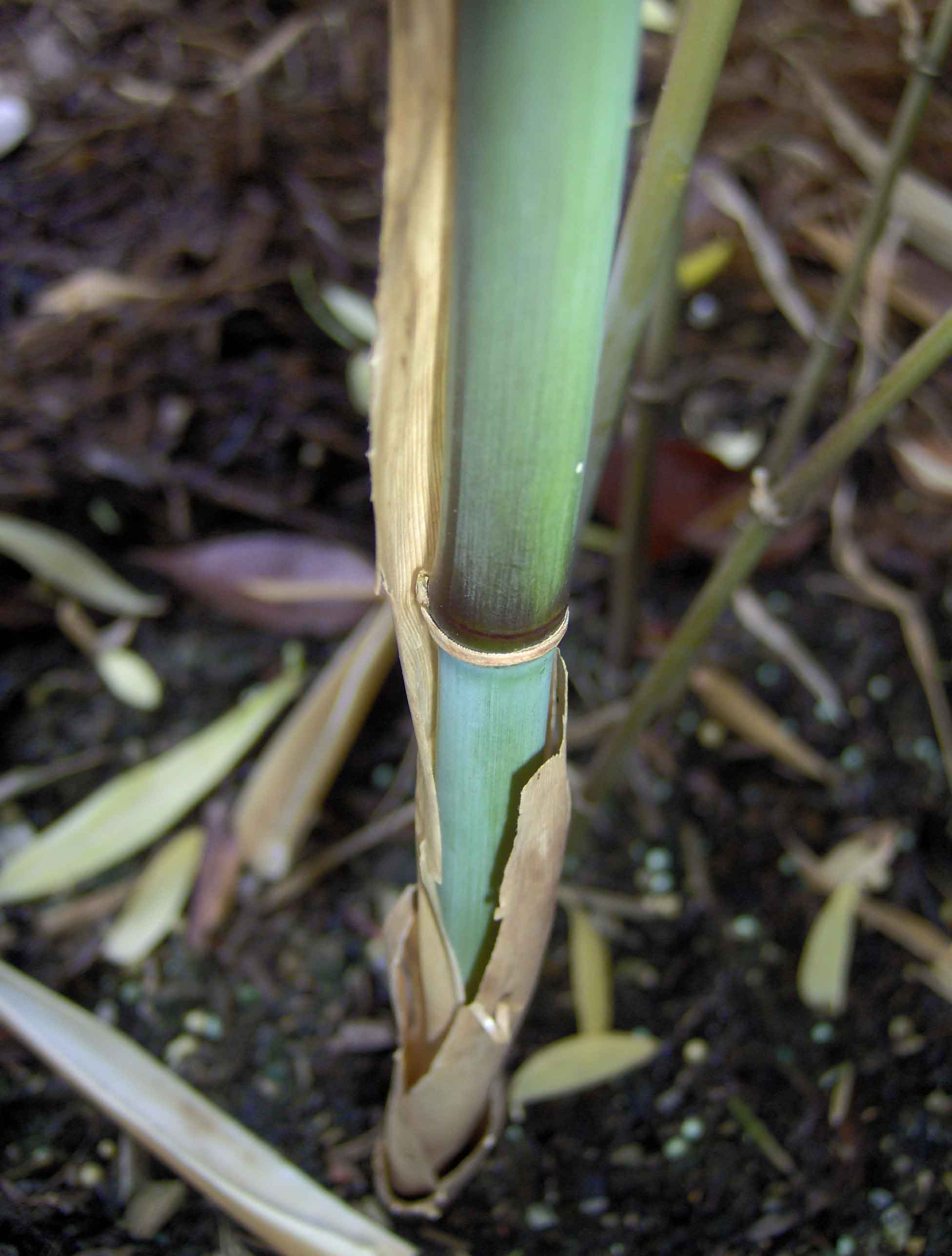 'Teague's Blue Bamboo'