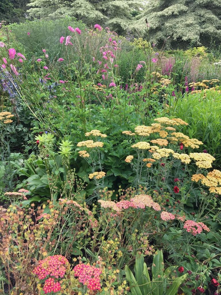 Various Achillea amongst the Summer Garden borders