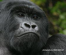 Mountain Gorilla by Craig Sholley