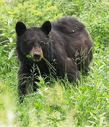 Black Bear by Hans Veth