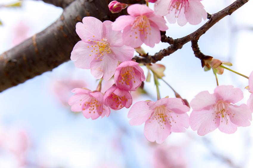 Hanami - die Kirschblüte