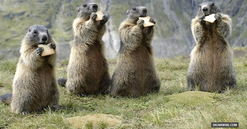 marmots eating chex mix
