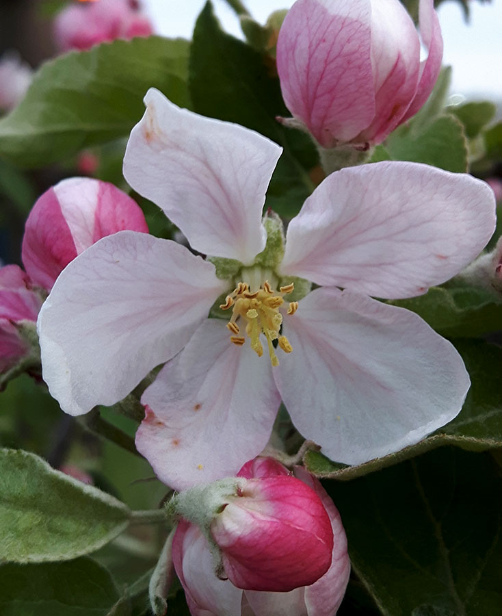 Apple Blossom by CJ Shelton