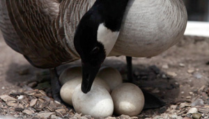 Mother Goose with Eggs