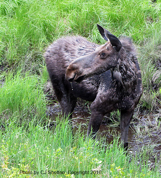 Young Female Moose in Ditch