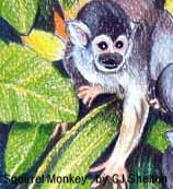 Squirrel Monkey by CJ Shelton